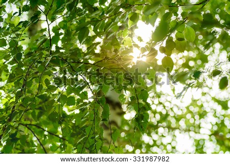 Birch leaves with the sun rays which are making the way through them. - stock photo