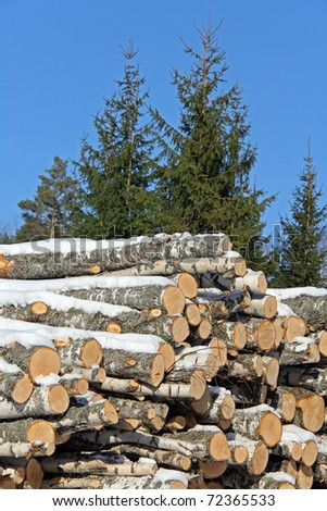 Birch Logs and Spruce Trees - stock photo