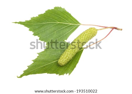 Birch sprig with catkin isolated on white. - stock photo