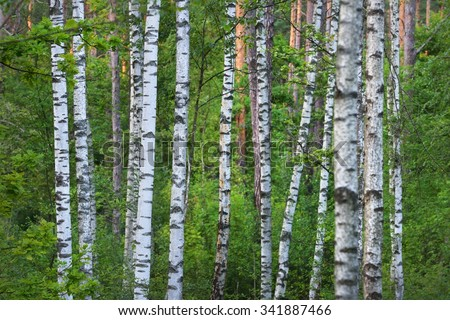 Birch tree forest - stock photo