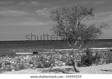 Birch Tree On Edge Of Lake Huron Black And White - stock photo
