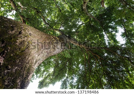 Birch Tree With Green Leaves from Below, Bottom View - stock photo