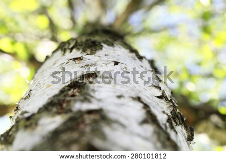Birch trees and branches close-up. - stock photo