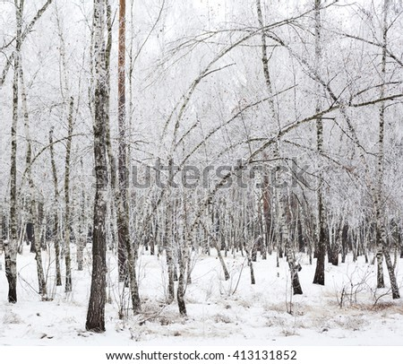 Birch trees covered with hoarfrost in the cloudy day.