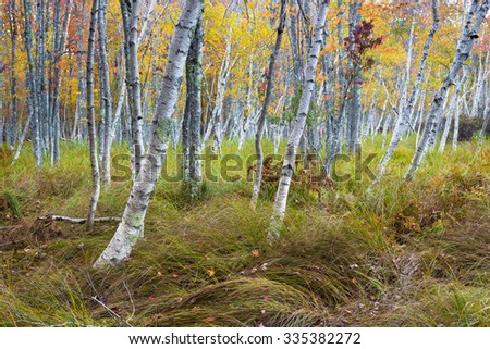 Birch Trees in Autumn - stock photo