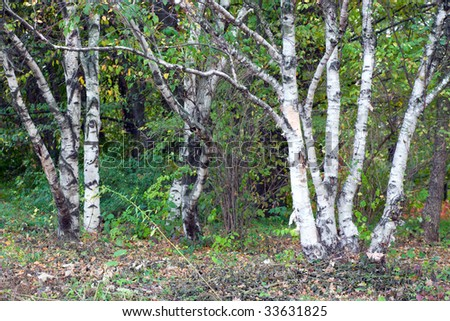 birch trees in autumn city park