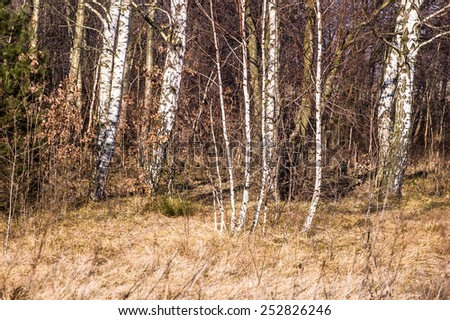 Birch trees in early spring - stock photo