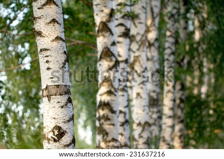 birch trees in nature - stock photo