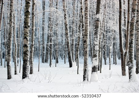 Birch trees in snow-covered winter wood - stock photo