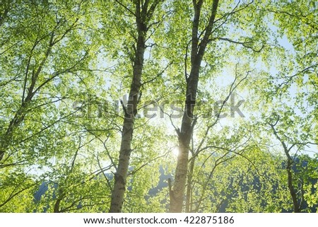Birch Trees in Spring - stock photo
