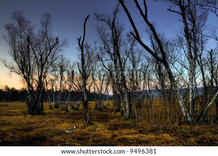 Birch trees on swamp in dusk light.
