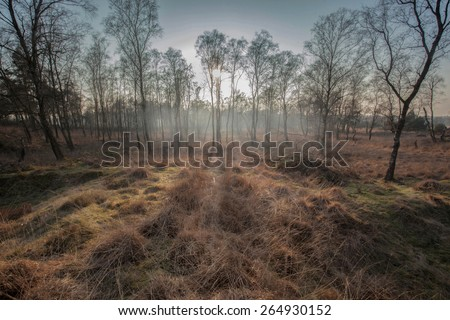Birch trees with mist and against the light - stock photo