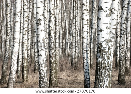 Birch trunks in a spring forest