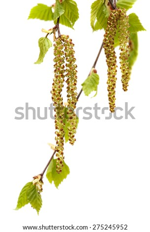 Birch twigs and buds, catkins on a white background. - stock photo
