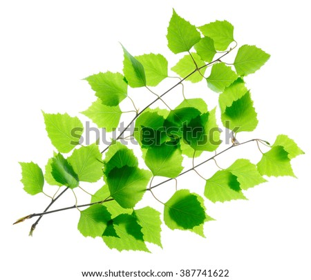 Birch twigs with green leaves isolated - stock photo