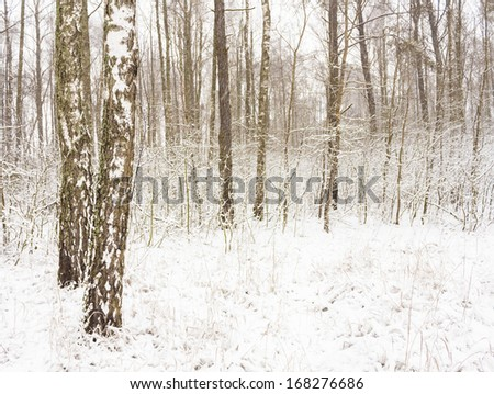 Birch woods forest grove in winter. Russian nature