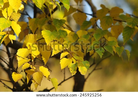 Birch yellow leaves