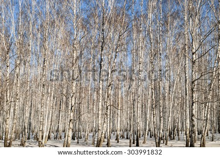 Birchwood in the winter in Russia