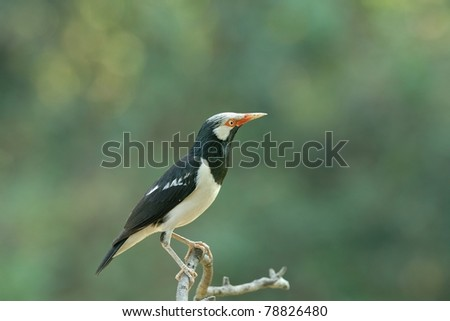 Bird (Asian Pied Starling) , Thailand