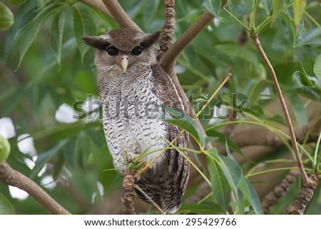 Bird, Barred Eagle Owl - stock photo