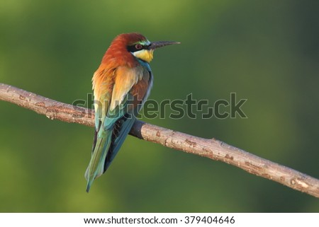 Bird - Bee-eaters (Merops apiaster)
