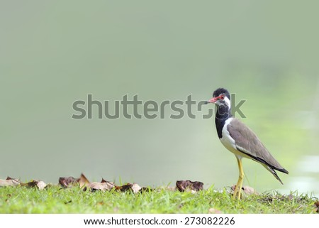 Bird (Black-winged Stilt) stand on clay hill - stock photo