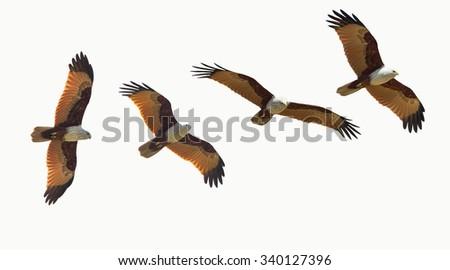 bird (Brahminy Kite) isolated flying on white background - stock photo