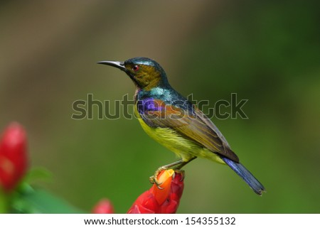 Bird Brown-throated sunbird Plain-throated sunbird - stock photo