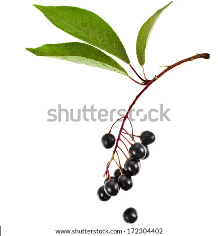 bird cherry branch with berries close up isolated on a white background  - stock photo