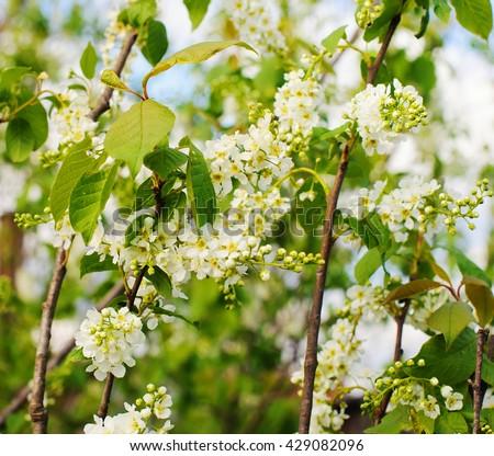 Bird cherry closeup. Bird-cherry tree in spring. - stock photo