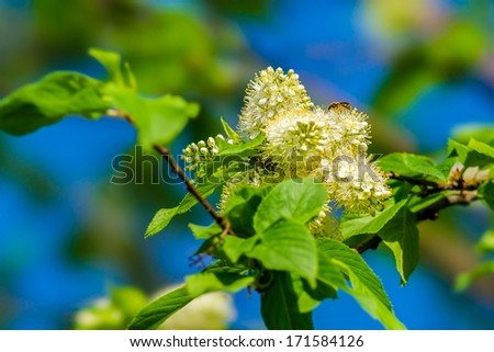 Bird cherry in bloom and a bee against the background of green, pink and blue colors. - stock photo