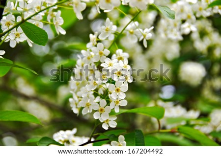 bird cherry tree - stock photo