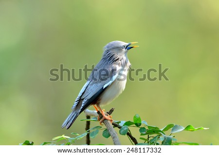 Bird (Chestnut - tailed Starling) , Thailand - stock photo