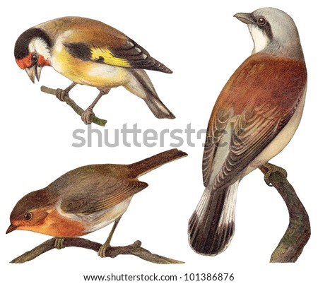 Bird collection - Goldfinch (Carduelis elegans), European Robin (Erithacus rubecula), Red backed Shrike (Lanius collurio) / vintage illustration from Meyers Konversations-Lexikon 1897 - stock photo