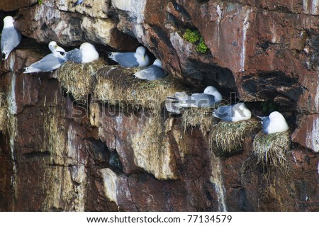 BIRD COLONY NESTING ON RUSSIAN NORTH - stock photo
