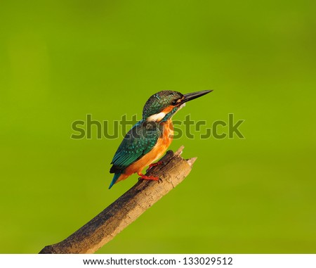 Bird Common Kingfisher on a green background