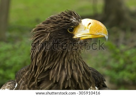 Bird,Eagle,Pacific Eagle or White-shouldered Eagle - stock photo