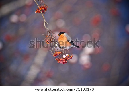 bird eats berries in nature