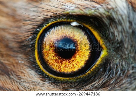 bird eye close-up, macro effect photo of Hen Harrier (Circus cyaneus) - stock photo