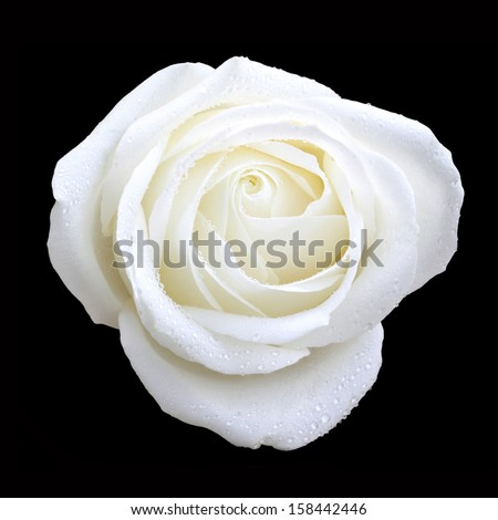 bird eye view of white rose on black - stock photo