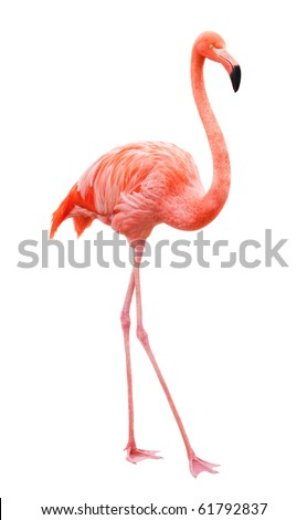 Bird flamingo walking on a white background - stock photo