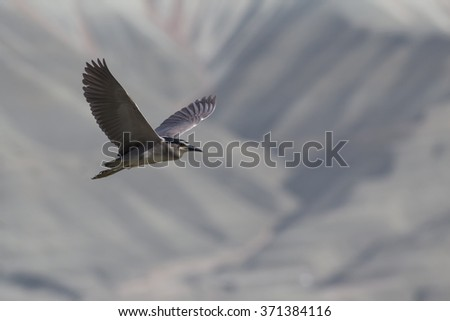bird fly Black crowned Night Heron / Nycticorax nycticorax - stock photo