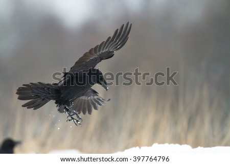 Bird - Flying Black Raven (Corvus corax) in winter time. Looking for something to eat.