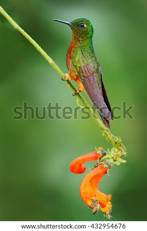 Bird from Ecuador. Orange and green bird in the forest. Hummingbird Chestnut-breasted Coronet, Boissonneaua matthewsii in the forest. Hummingbird from Peru clouds forest. Hummingbird sitting on trunk. - stock photo
