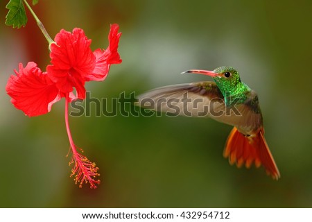 Bird from Ecuador. Rufous-tailed Hummingbird, Amazilia tzacatl, bird fling next to beautiful red rose hibiscus flower in neture habitat, green background, bird from mountain tropical forest, Colombia - stock photo