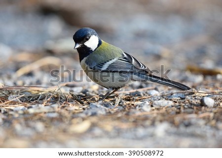 Bird (Great Tit) , Thailand - stock photo