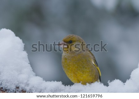 Bird (greenfinch) in the snow looking to the left