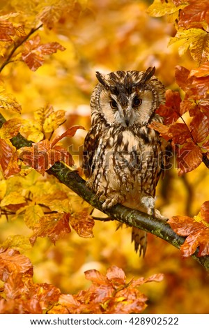 Bird in autumn forest. Owl in orange autumn leaves. Long-eared Owl with orange oak leaves during autumn. Owl in the nature habitat. Autumn orange forest with wild owl. Owl in the nature habitat.  - stock photo