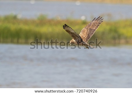 Bird in flight -  Eastern Marsh Harrier (Circus spilonotus)