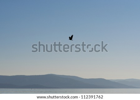 Bird in flight over Flathead Lake, Montana, USA.